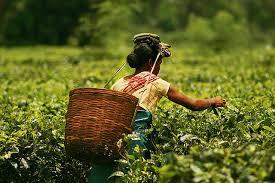 A teacserjét sok országban termesztik