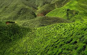 A zöld tea mindenhol népszerű