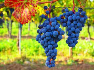 Ízletes szőlő